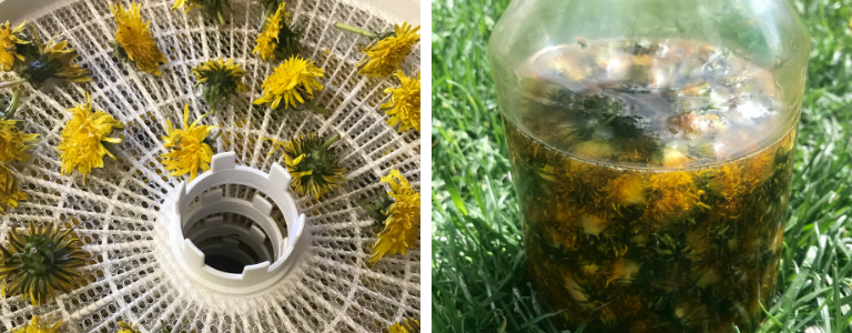 Dandelion Oil wildcraft