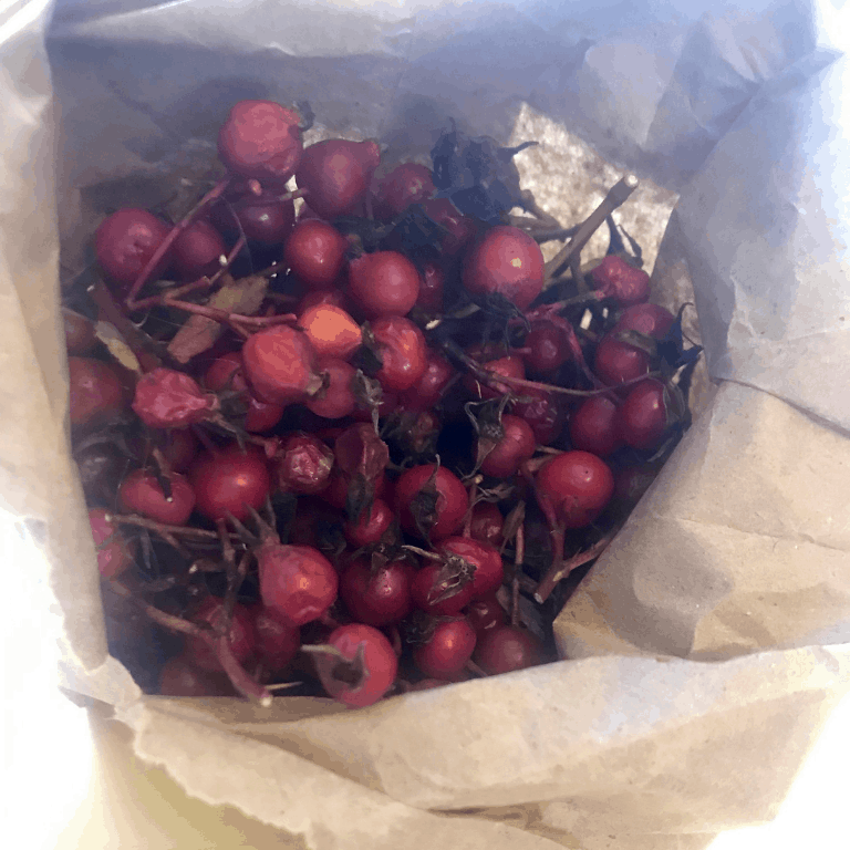 Rose hips in paper collecting bag