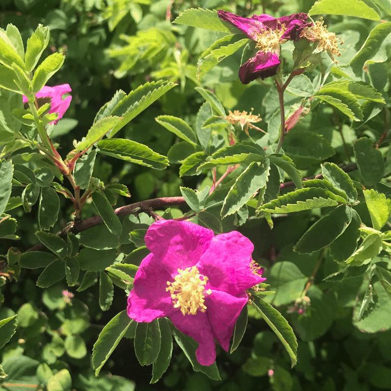 Wild Rose June 2020